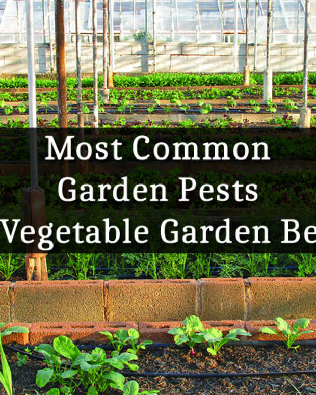 most-common-garden-pests-in-vegetable-garden-beds