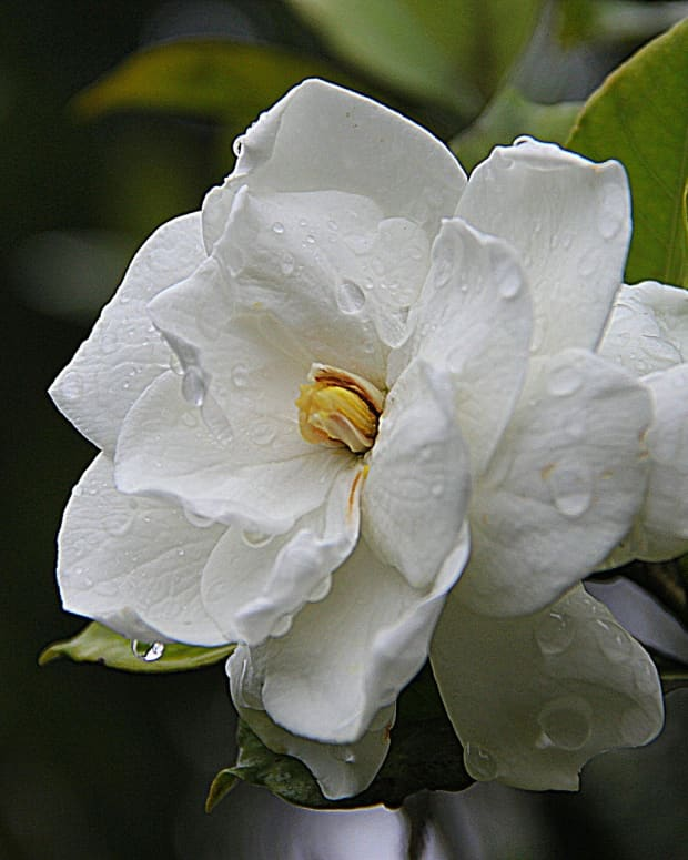 how-to-care-for-gardenias
