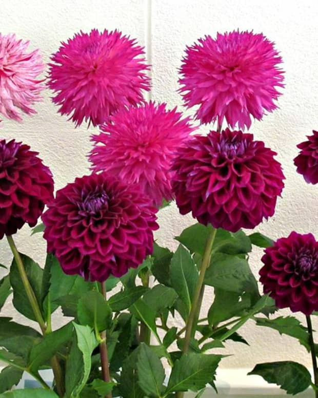 how-to-plant-grow-and-care-for-dahlias