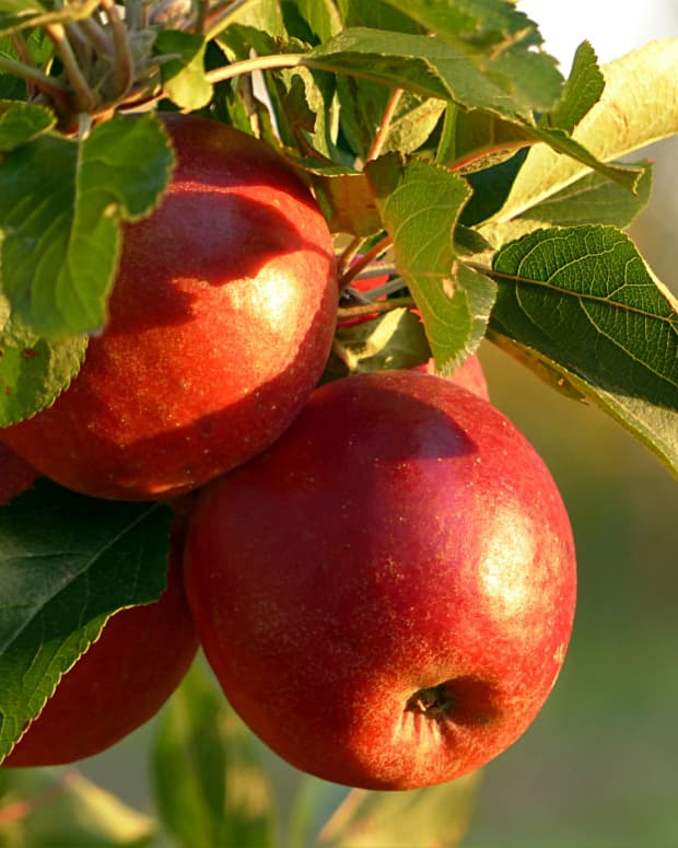 how-to-grow-a-dwarf-apple-tree