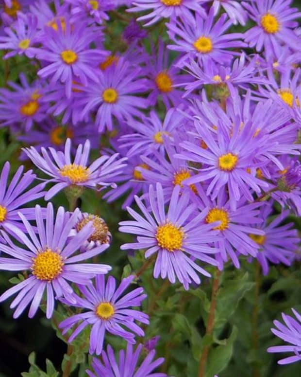 how-to-plant-grow-and-care-for-asters