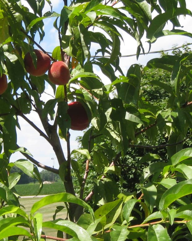 growing-peaches-in-ohio