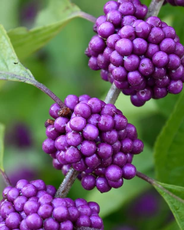 how-to-grow-beautyberry-callicarpa-for-winter-interest