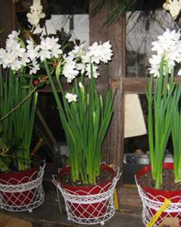 forcing-paperwhite-bulbs-for-holiday-blooms