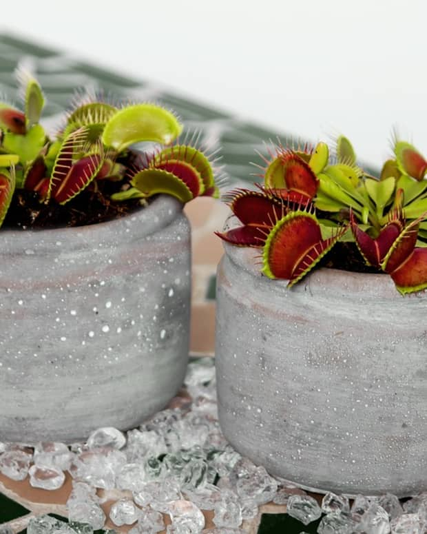 how-to-grow-a-venus-flytrap