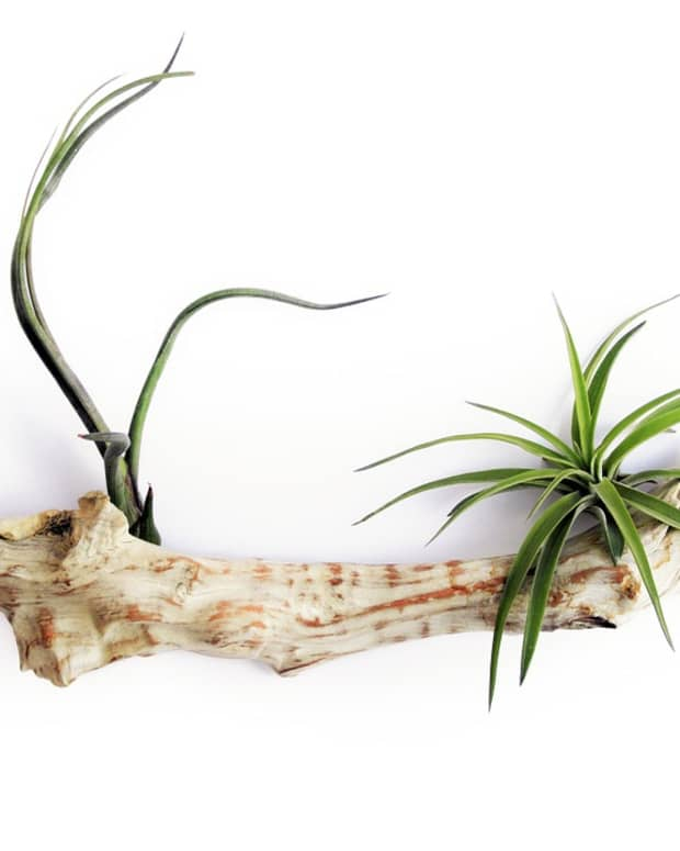 how-to-grow-air-plants-tillandsia