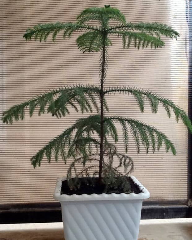 how-to-grow-a-norfolk-island-pine-as-a-houseplant