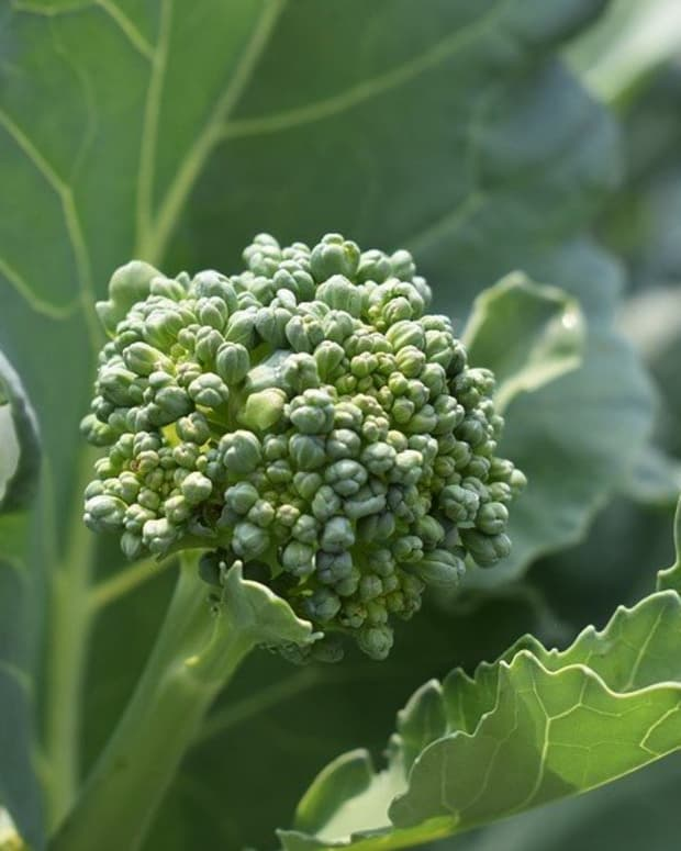 growing-broccoli-in-ohio