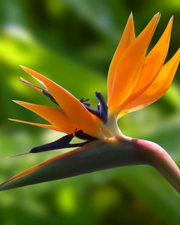 how-to-grow-a-bird-of-paradise-indoors-or-outdoors