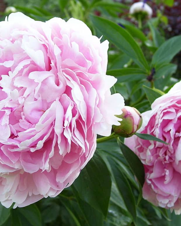 how-to-grow-peonies-a-cottage-garden-favorite