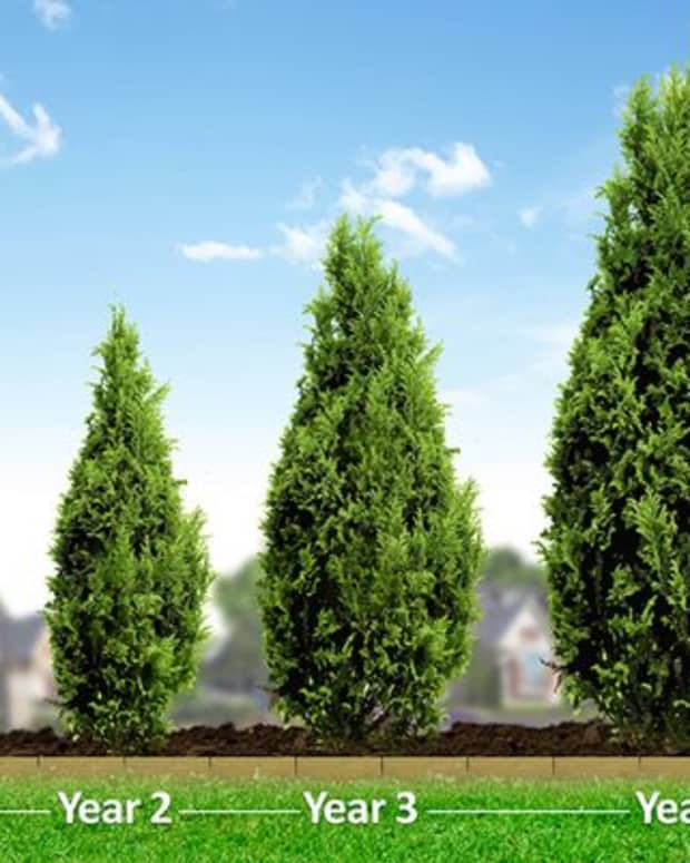 how-to-propagate-a-leyland-cypress-tree-using-cuttings