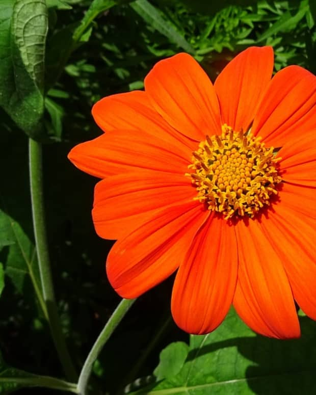 how-to-grow-tithonia-mexican-sunflowers