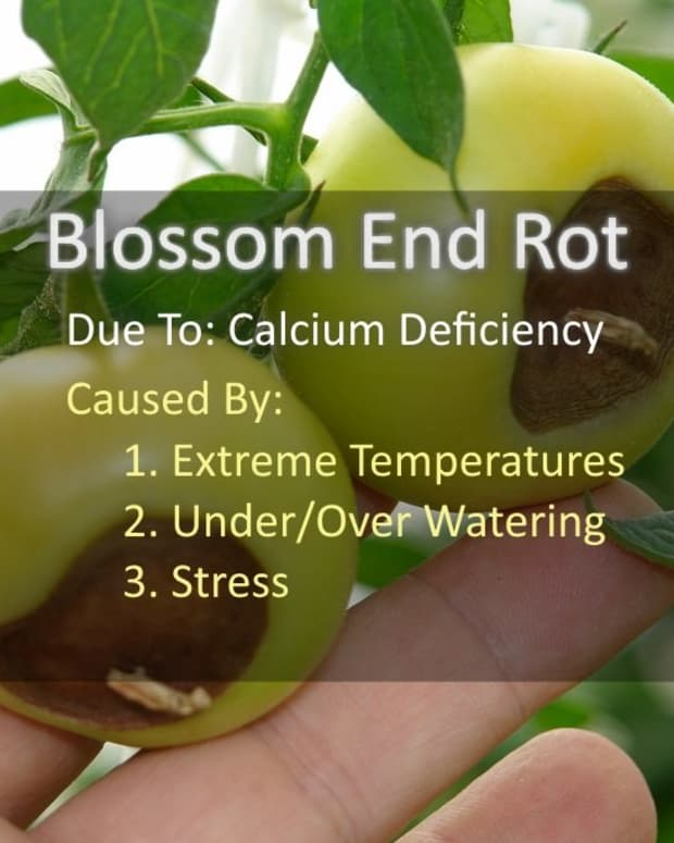 blossom-end-rot-tomatoes-turning-black-on-the-bottom