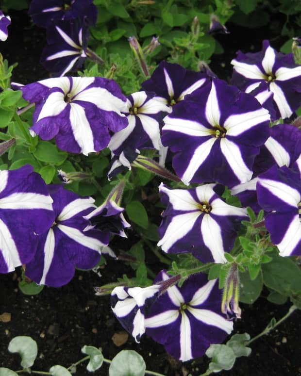 how-to-grow-the-prettiest-annual-petunias
