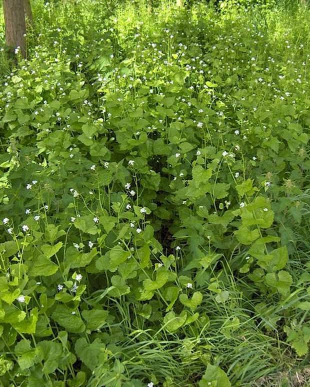 the-best-way-to-get-rid-of-garlic-mustard-an-invasive-weed