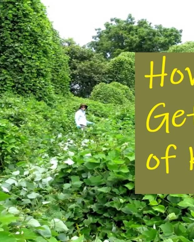 how-to-get-rid-of-kudzu