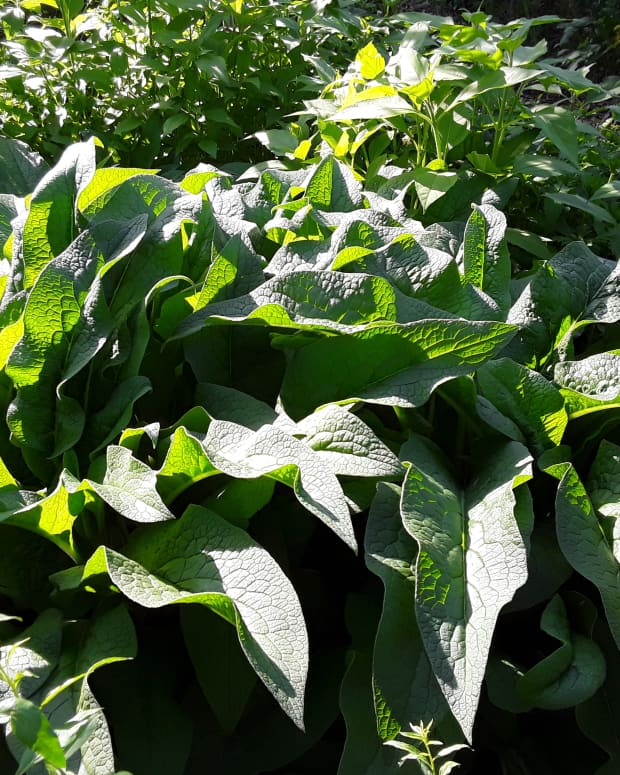 propagating-comfrey