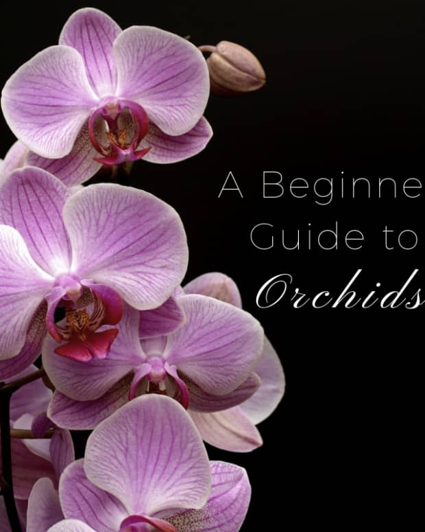 orchid-care-for-beginners
