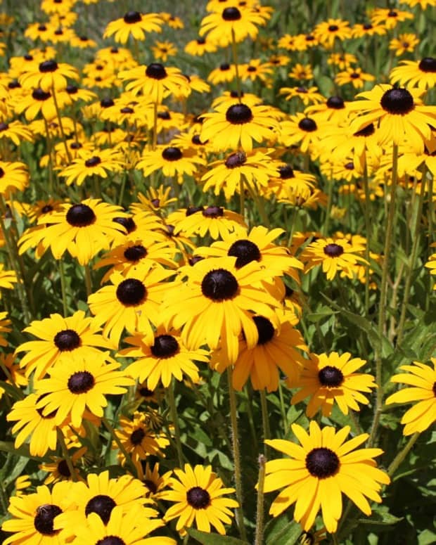 how-to-grow-black-eyed-susans-a-native-plant