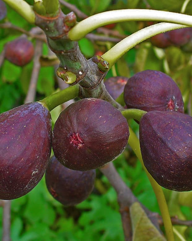 how-to-grow-and-harvest-figs-in-a-container-or-in-your-yard