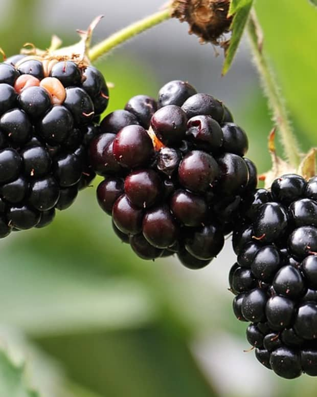 how-to-grow-blackberries-a-native-plant