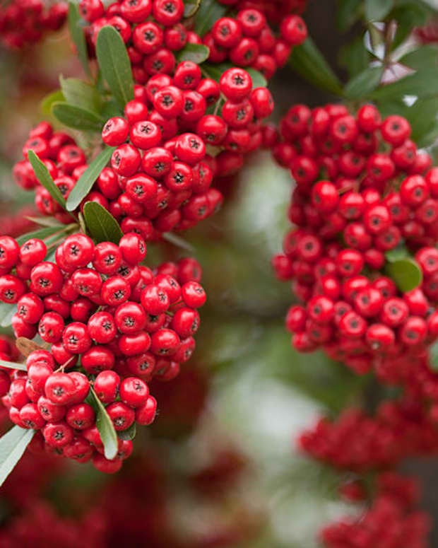 how-to-grow-firethorn-pyracantha-for-winter-interest