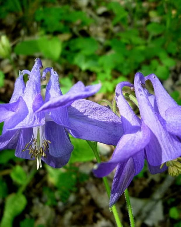 how-to-grow-columbine-aquilegia-a-cottage-garden-favorite