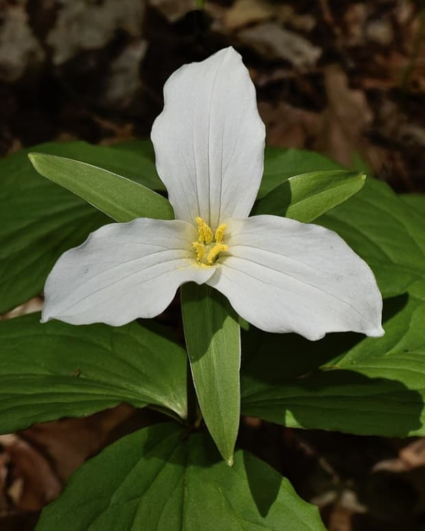 how-to-grow-trillium-a-native-woodland-plant