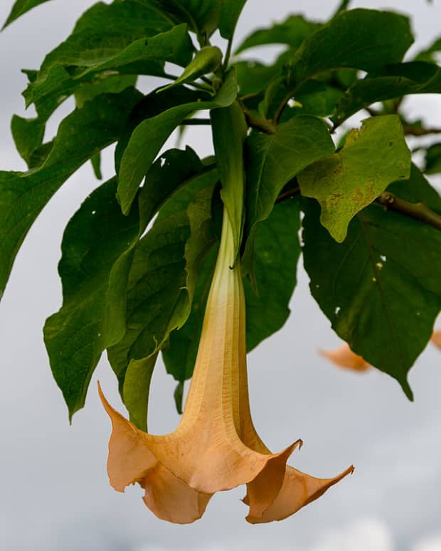 how-to-grow-brugmansia-angels-trumpet-indoors-or-outdoors