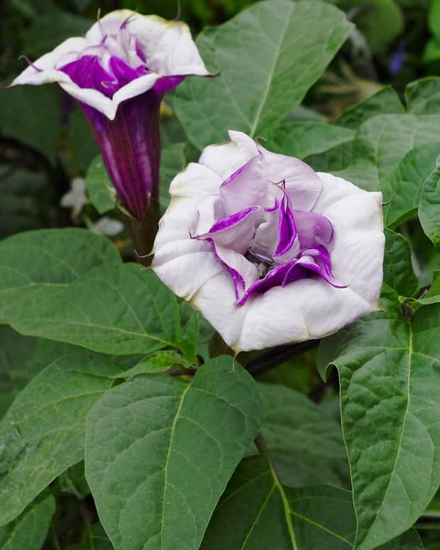 how-to-grow-datura-devils-trumpets