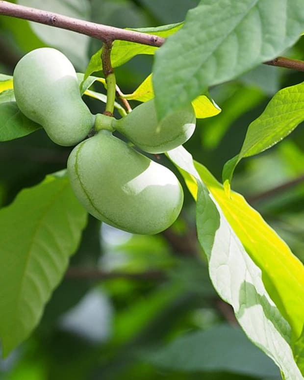 how-to-grow-pawpaws-a-native-fruit-tree