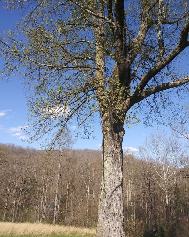 how-to-grow-tulip-poplar-trees