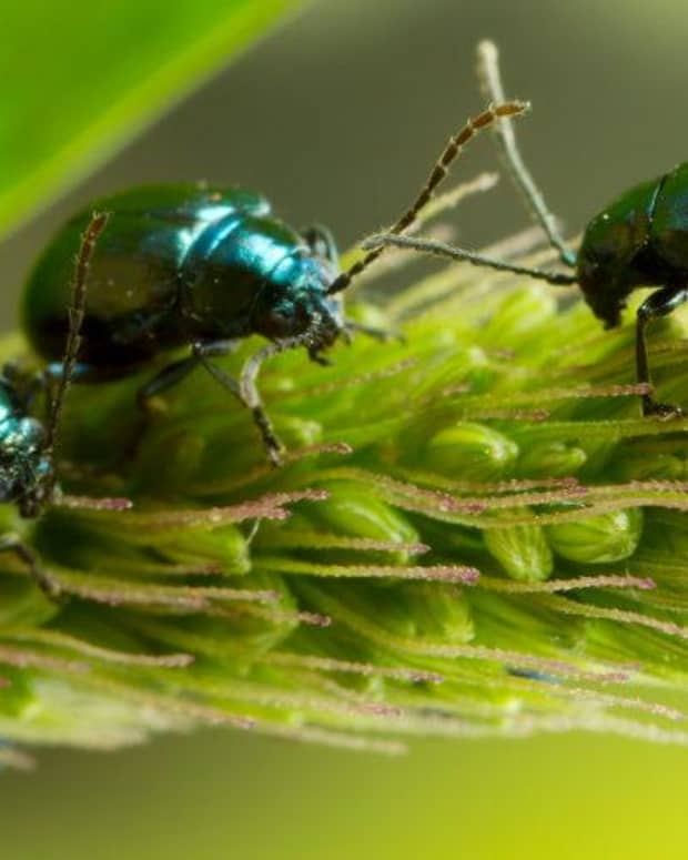 the-flea-beetle-an-enemy-to-many-of-your-vegetables