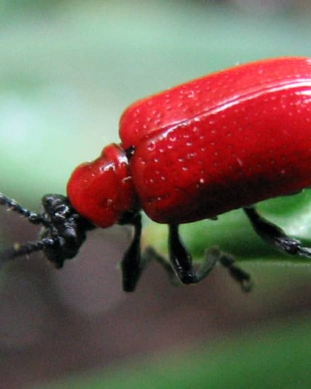 how-to-get-rid-of-lily-leaf-beetles-scarlet-lily-beetle
