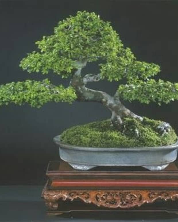 bonsai-care-maintenance