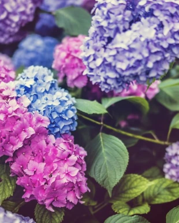 how-to-use-rooting-hormone-to-propagate-hydrangeas