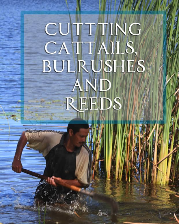 cutting-cattails-bulrushes-and-reeds