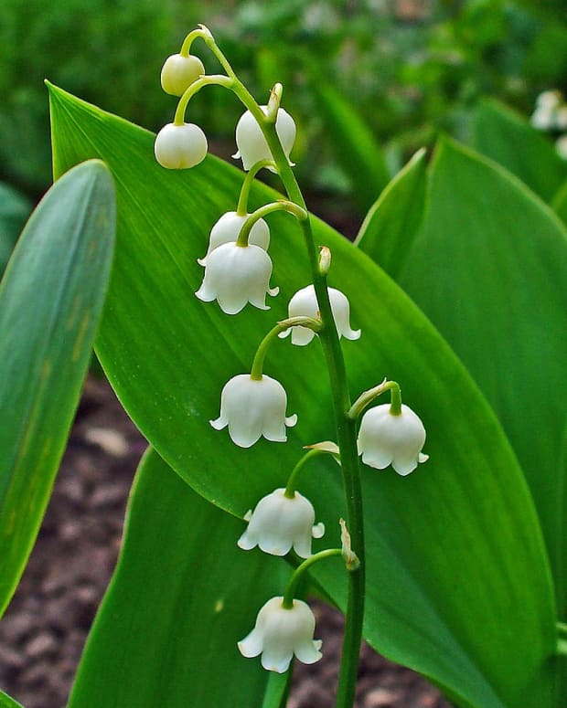 cottage-garden-favorites-lily-of-the-valley