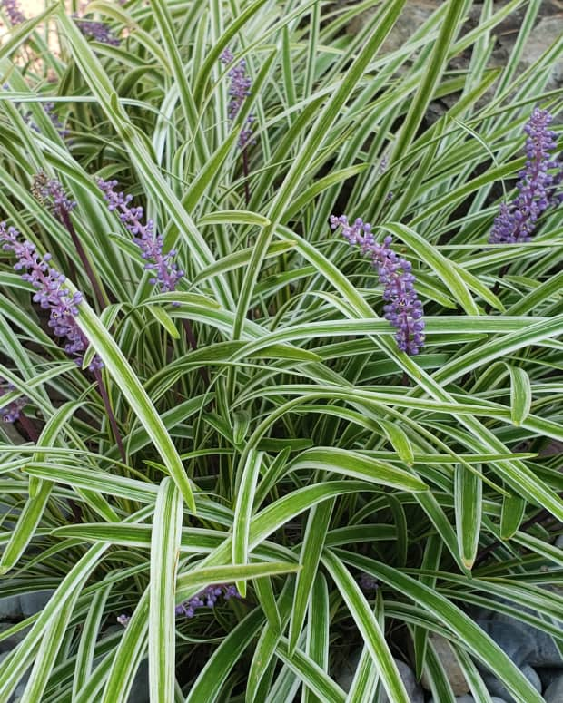 how-to-grow-liriope-for-fall-color
