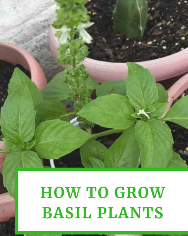 how-to-grow-basil-plants-in-your-garden