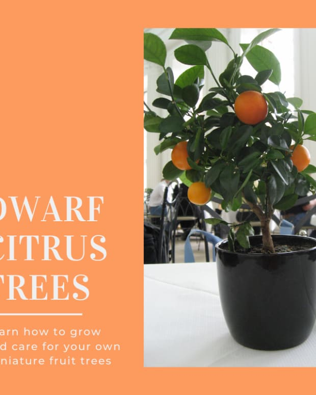 how-to-grow-a-dwarf-citrus-tree