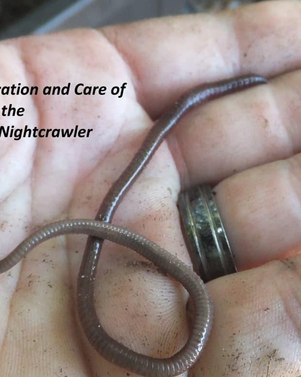 identifying-the-african-nightcrawler-composting-worm