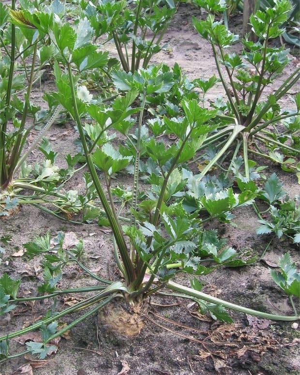 how-to-grow-celeriac-celery-root