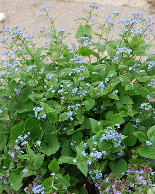 how-to-grow-siberian-bugloss-false-forget-me-not