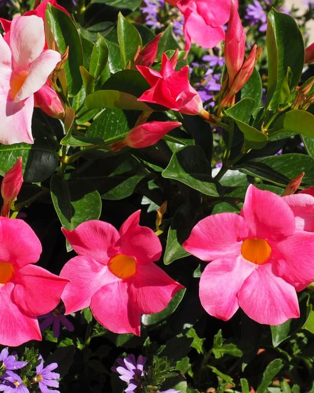 how-to-grow-mandevilla-vines