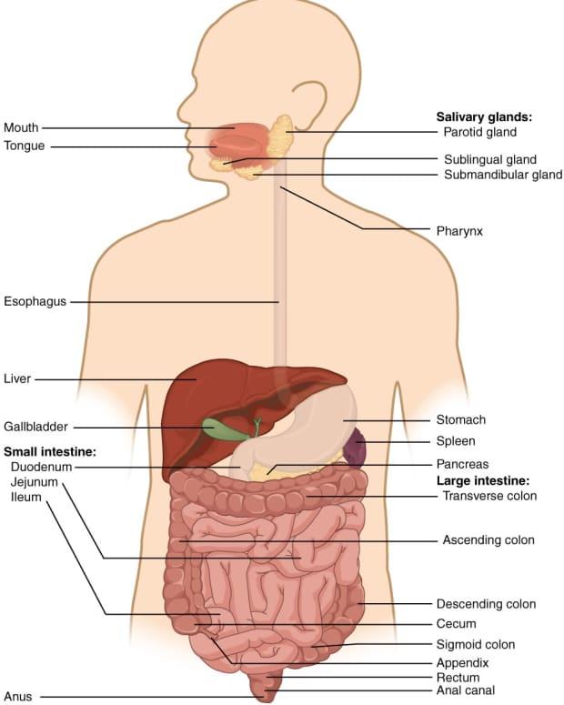 butyric-acid-bacteria-and-colon-health