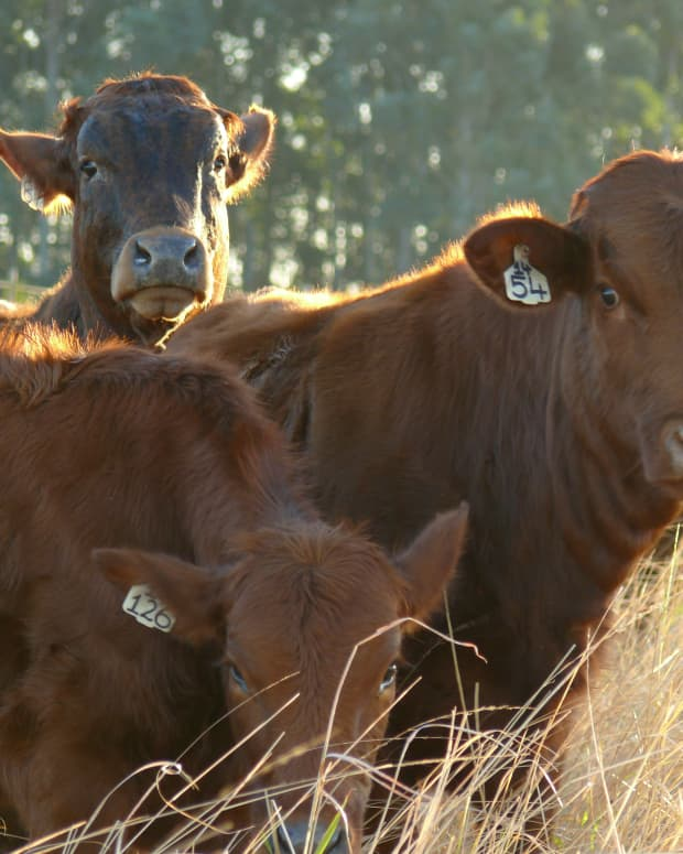 the-cows-in-the-town-a-south-african-short-story