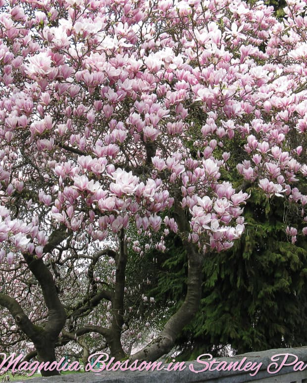 stanley-park-in-vancouver-magnolias-and-glaucous-winged-gulls
