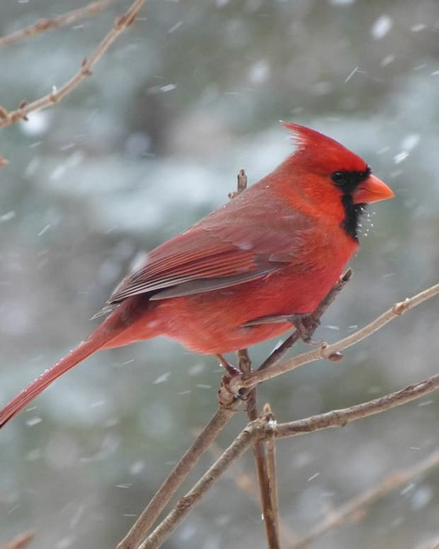 my-mothers-day-cardinal-experience