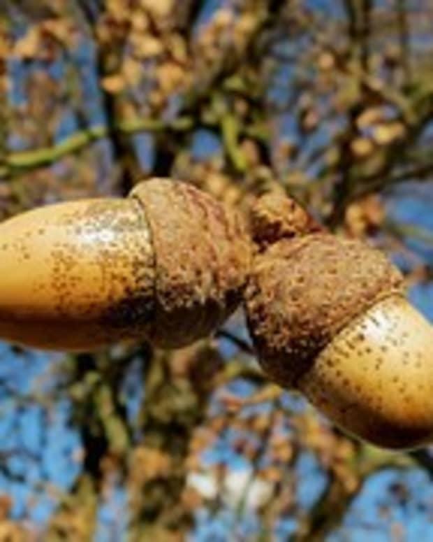 -the-acorns-tale